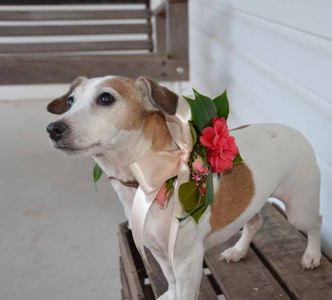 Blooms 'n Blossoms,  pretty flower wreath of camellias on Jessica's Jack Russel Terrier