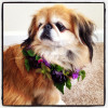 Bella Fiori, Johann the Pekingese with flower wreath