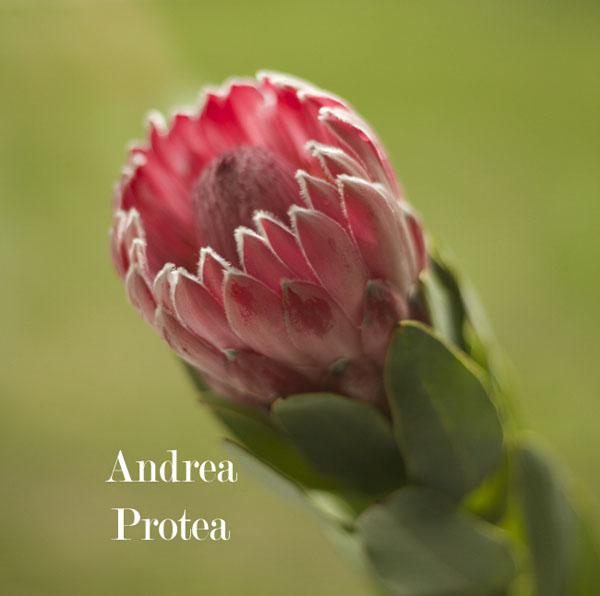 Pink Andrea Protea Resendiz Brothers