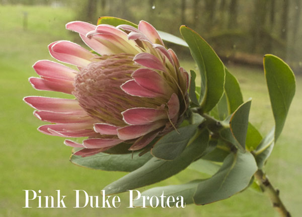 Pink Duke Protea by Resendiz Brothers
