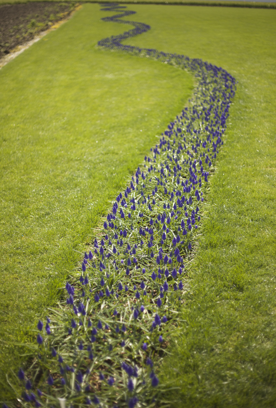 RoozenGaarde, path of muscari