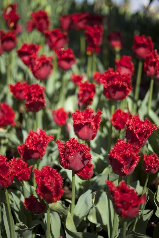 RoozenGaarde, Red fringe tulip