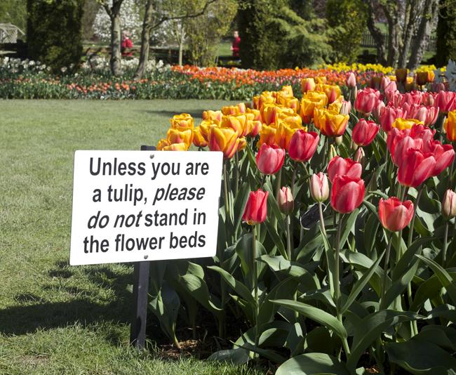 RoozenGaarde, tulip farm