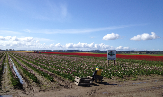 RoozenGaarde, fields of tulips in bloom in Washington