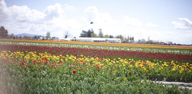 Tulip Town Tulip fields