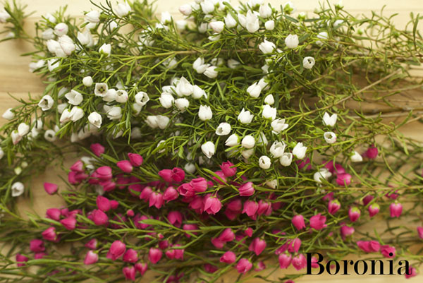 White and Pink Boronia by Resendiz Brothers