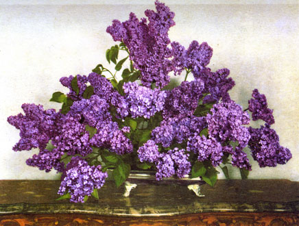 Constance Spry - Massed Lilacs