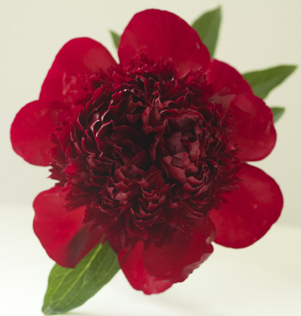 Red Charm Peony by Jello Mold Farm