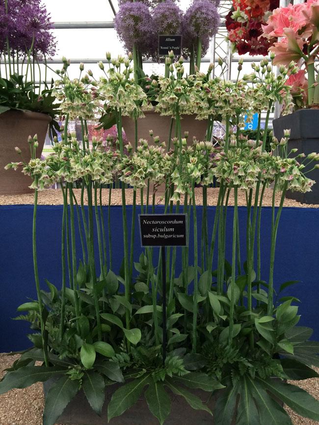 RHS Chelsea Flower Show - Allium Siculum Nectaroscordum