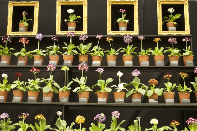RHS Chelsea Flower Show - Auricula