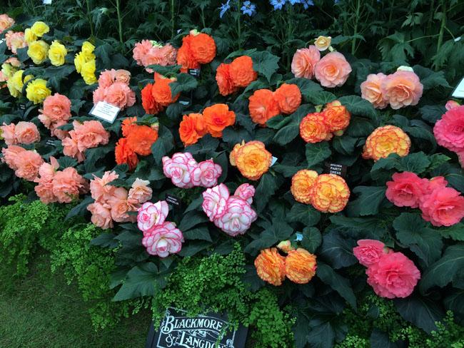 RHS Chelsea Flower Show - Begonias