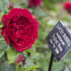 Visiting David Austin Garden Roses in England