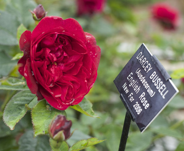 Darcey Bussell Ausdecorum English Rose New for 2006