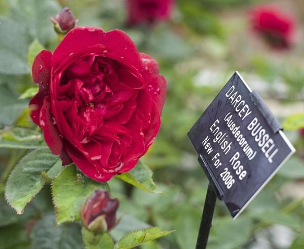 Darcey Bussell Ausdecorum English Rose New for 2006
