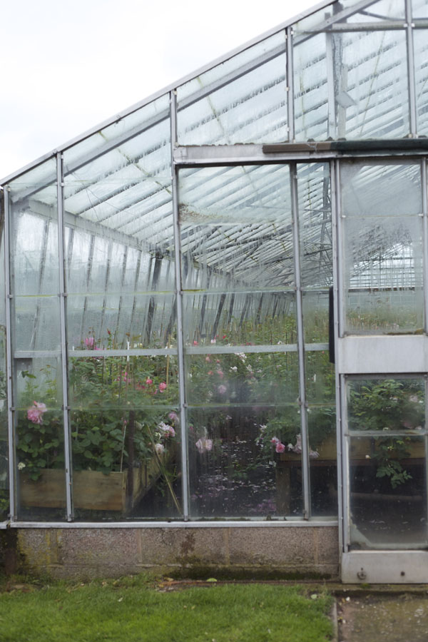Greenhouse full of roses seen at David Austin Rose Gardens, England