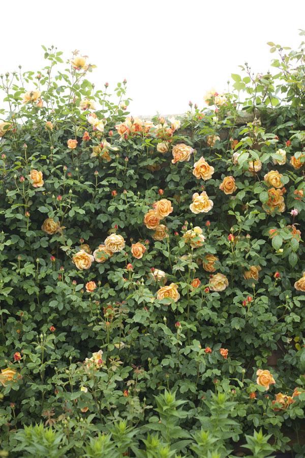 orange garden roses seen at David Austin Rose Gardens, England