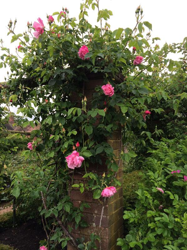 David Austin Pink Climber Rose