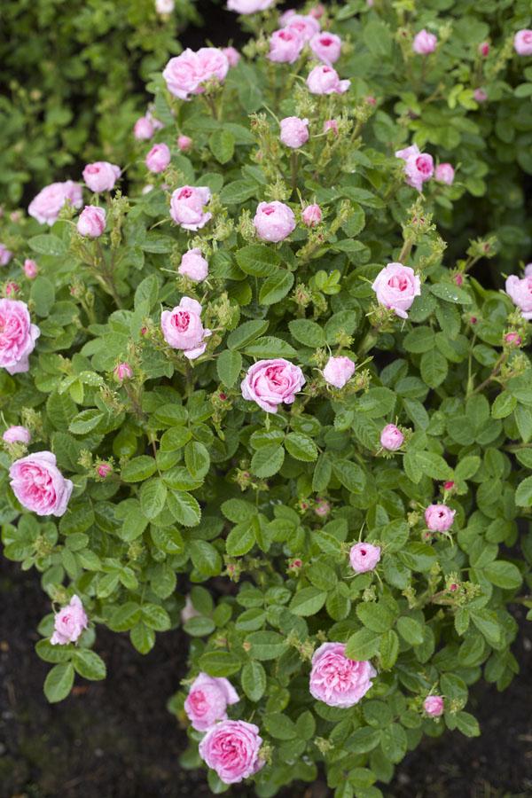 David Austin Pink Garden Rose