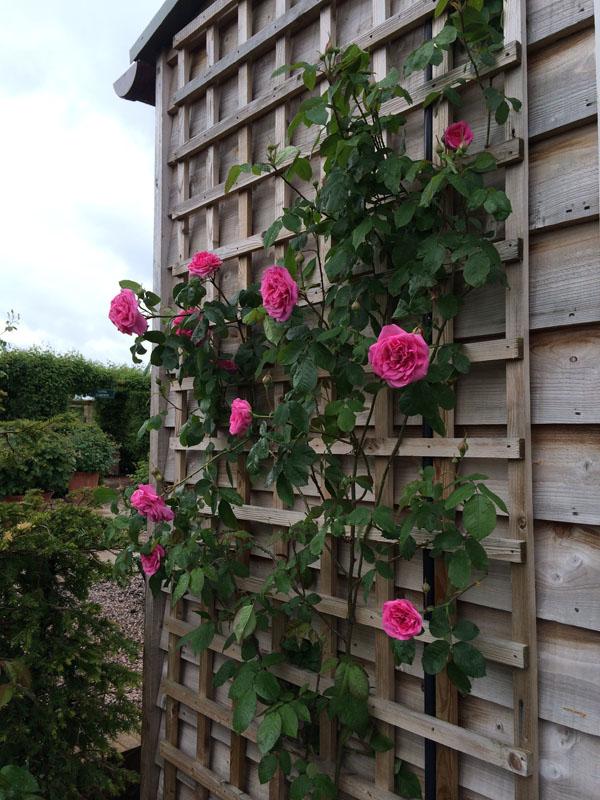 pink climbing rose seen at David Austin Rose Gardens, England