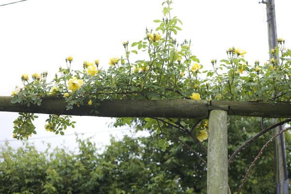 David Austin Yellow Climbing Rose