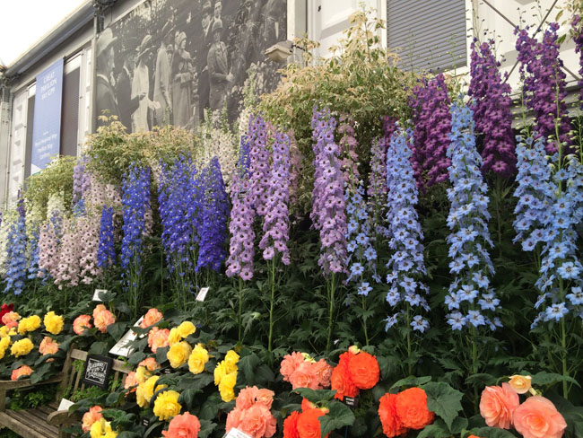 RHS Chelsea Flower Show - Delphinium and Begonias