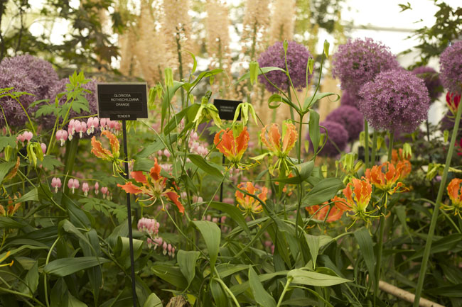 RHS Chelsea Flower Show - Gloriosa, Allium and Bleeding Heart