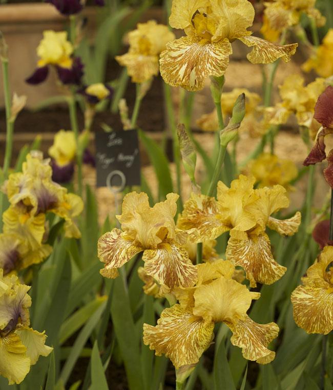 RHS Chelsea Flower Show - Iris