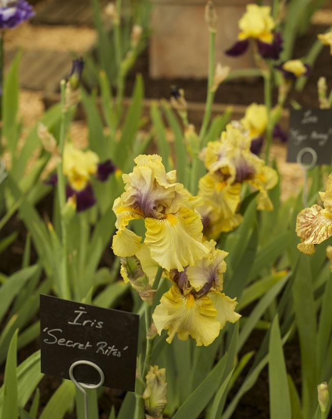 RHS Chelsea Flower Show - 'Secret Rites' Iris