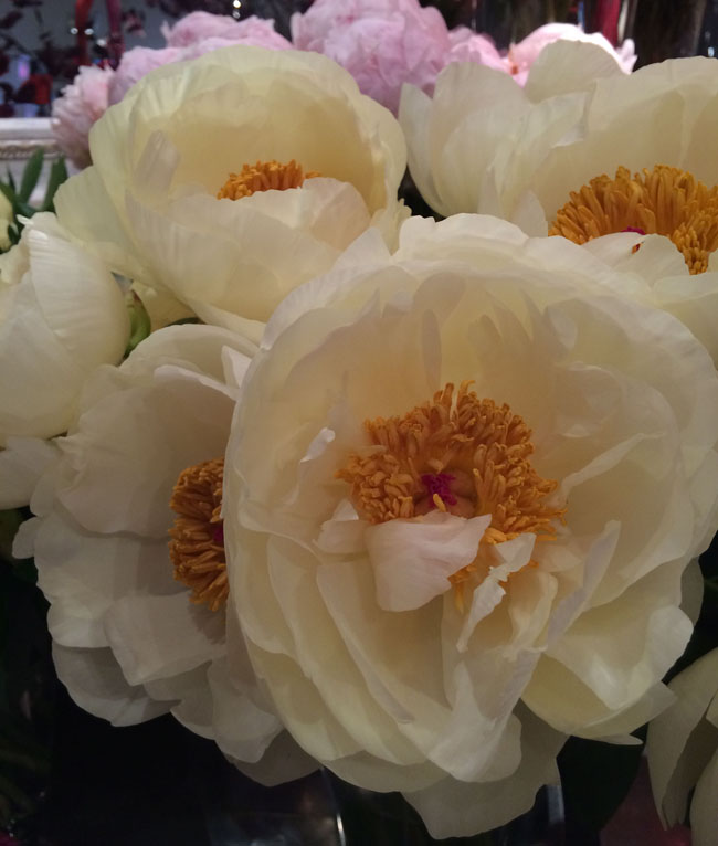 Neill Strain - Passion for Peonies - Lemon Chiffon