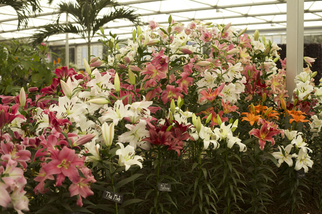 RHS Chelsea Flower Show - Lilies