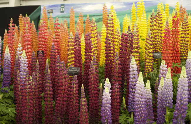 RHS Chelsea Flower Show - Lupines