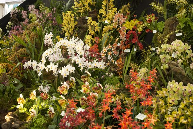 RHS Chelsea Flower Show - McBean's Orchids