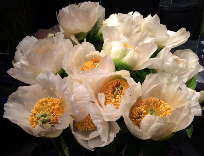 Neill Strain - Passion for Peonies - Moonrise Peonies