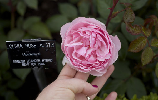 Olivia Rose Austin Ausmixture English Leander Hybrid New for 2014