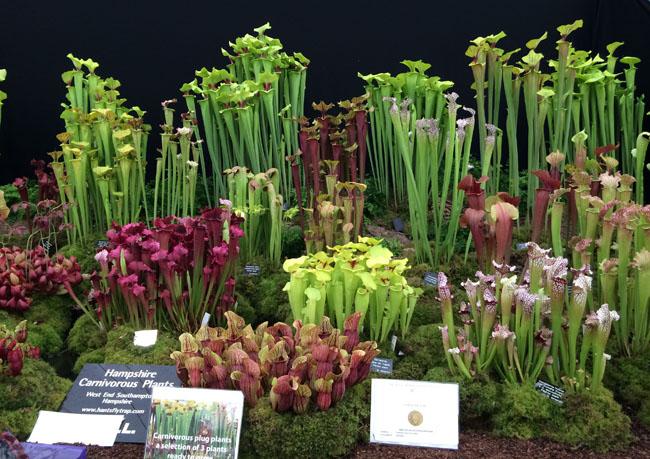 RHS Chelsea Flower Show - Sarracenia