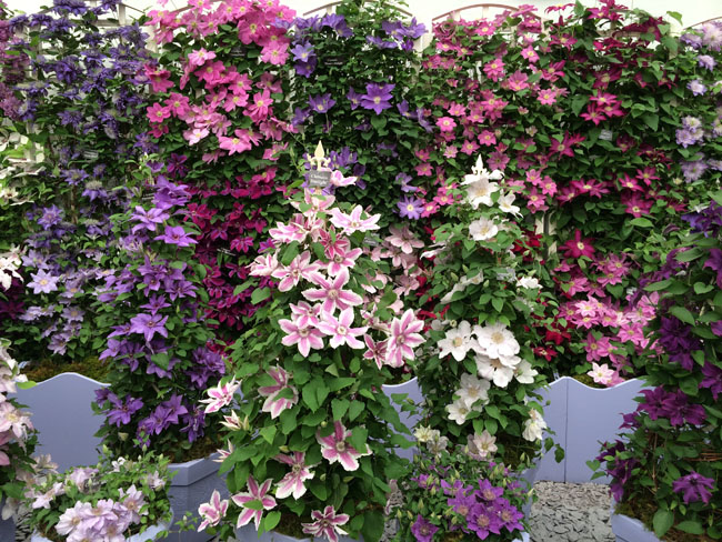 RHS Chelsea Flower Show - Taylor's Clematis