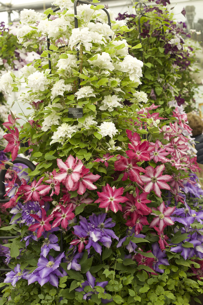 RHS Chelsea Flower Show - Thorncroft Clematis Nursery