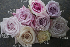 colors of blush roses