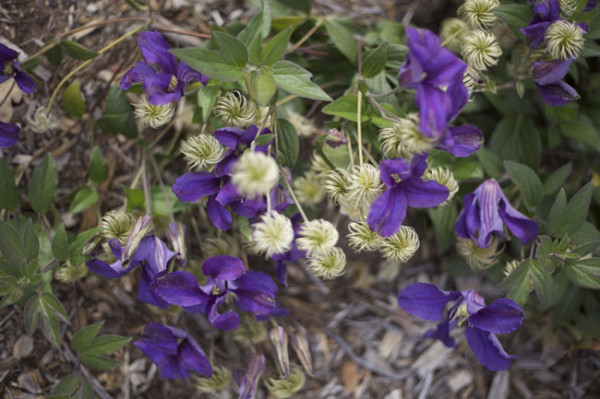 Chalk Hill Clematis Purple