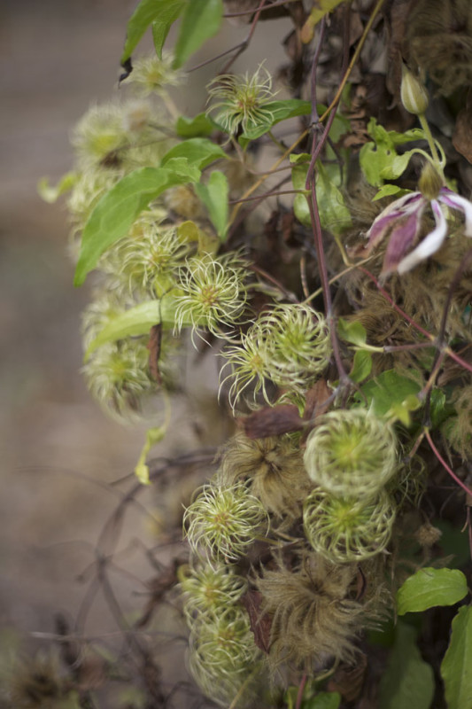 Chalk Hill Clematis Seed Pods