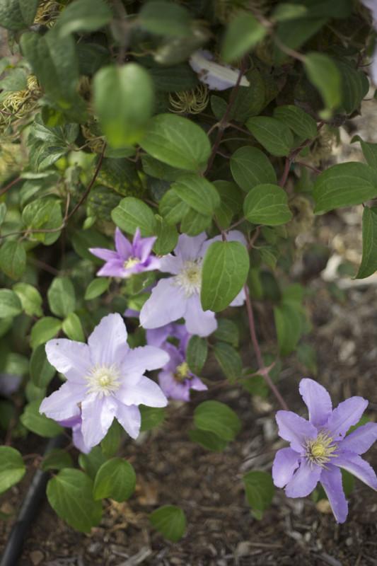 Chalk Hill Lavender Clematis
