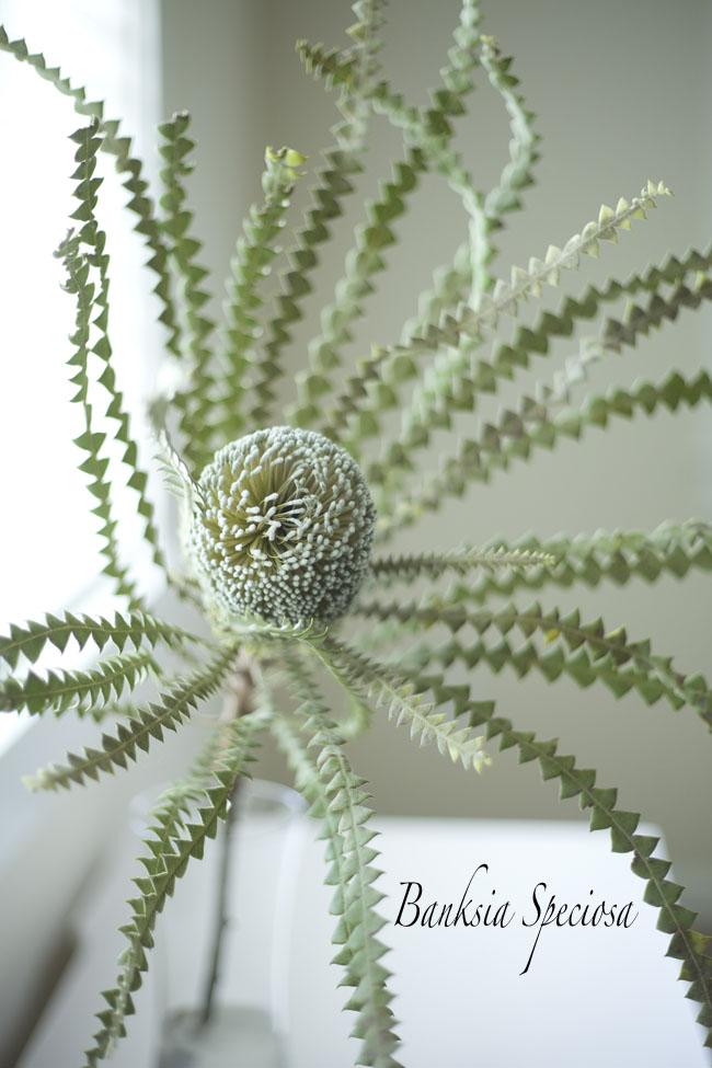 Resendiz Brothers Protea Farm - Banksia Speciosa