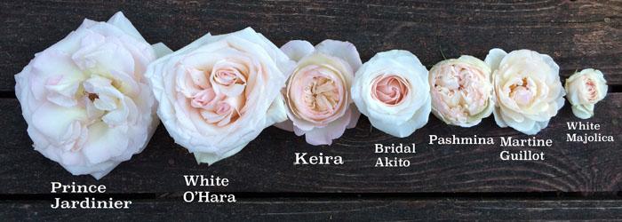 flirty fleurs blush pink roses - Cream Garden Rose