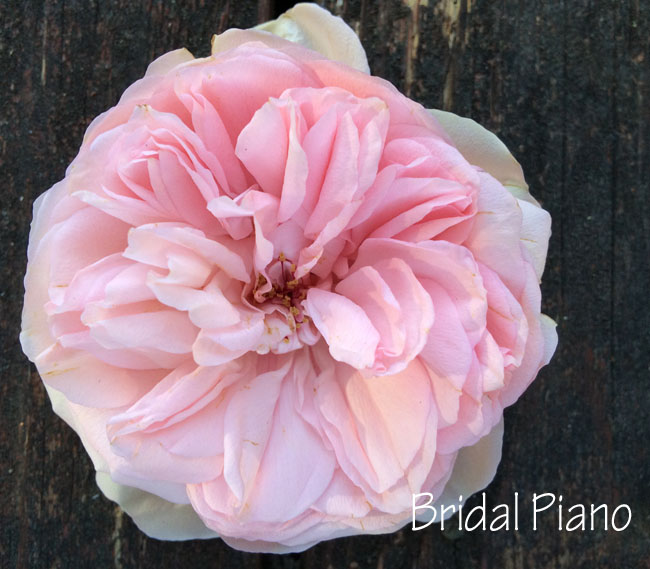 Bridal Piano Rose