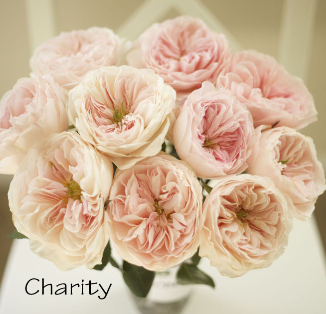 florabundance david austin charity garden rose a lovely pink garden rose formally known