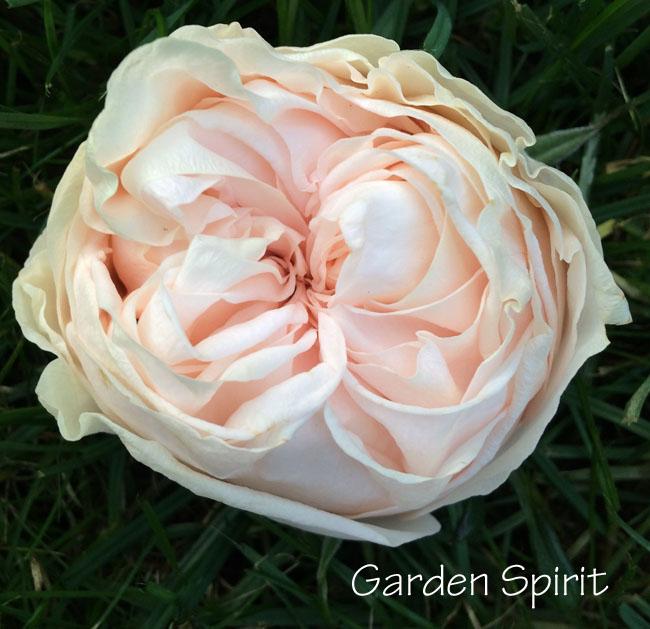 Garden Spirit Rose