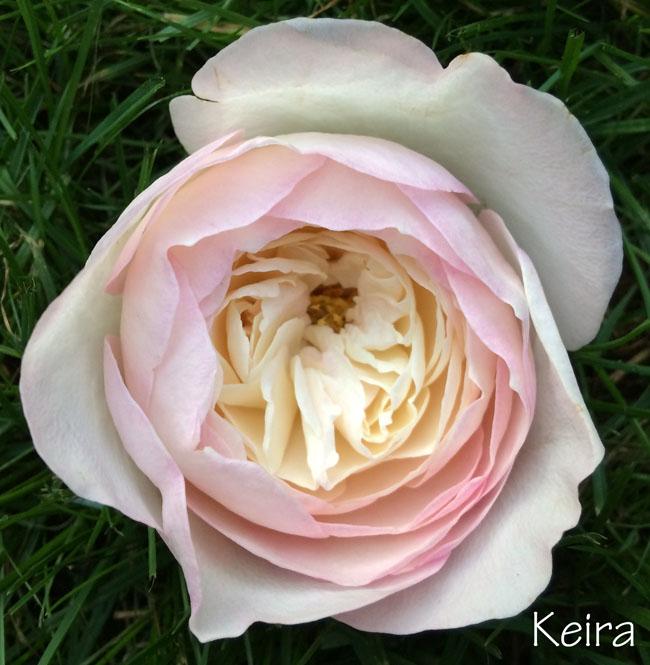 David Austin Garden Rose