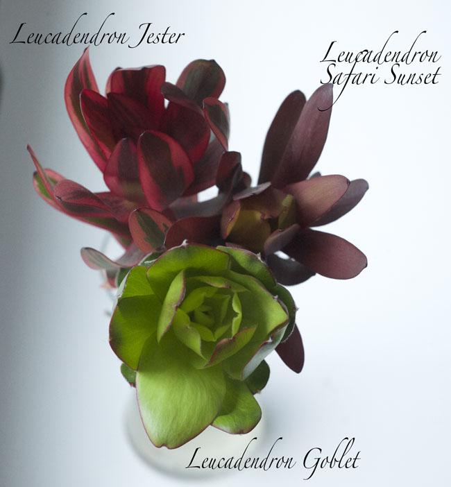 Resendiz Brothers Protea Farm - Leucadendron Jester, Leucadendron Goblet, Leucadendron Safari Sunset