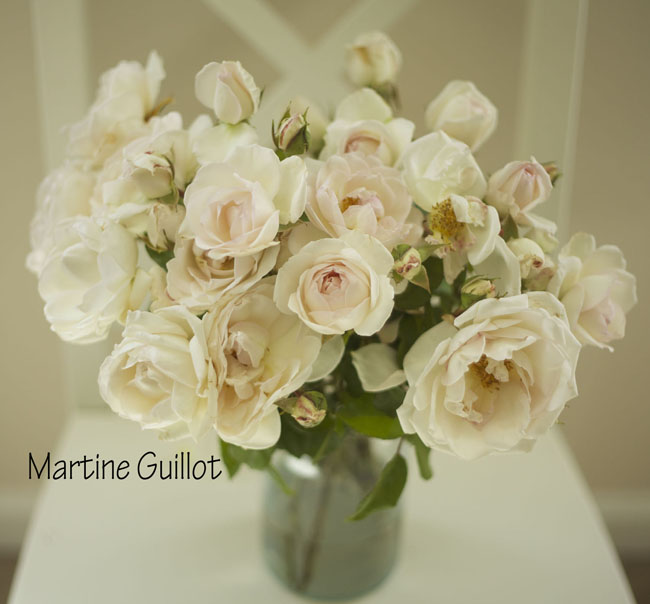 Florabundance - Martine Guillot, a blush cream garden rose grown in Santa Barbara California