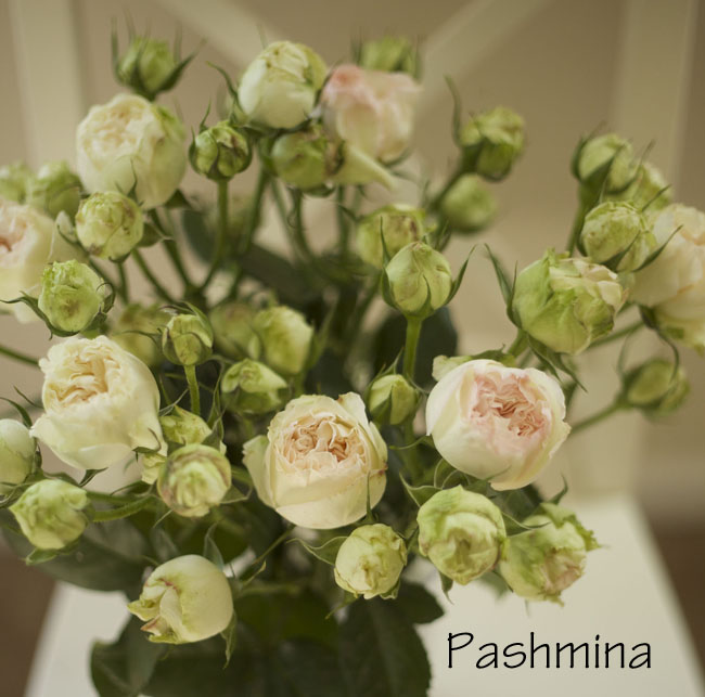 Florabundance - Pashmina, California grown blush pink and green garden rose
